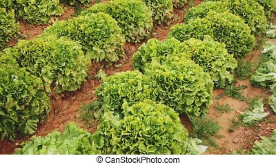 View of farm field planted with ripening green lettuce. Popular leafy vegetable crop
