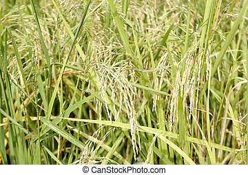 green paddy rice in the field