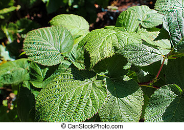 Closeup of green raaspberry leaves, no fruit