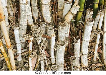 Closeup of Group bamboo in the garden