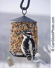 closeup of hairy woodpecker on feeder at winter