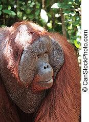 Closeup of hanging alpha male orangutan, Tanjung Puting...