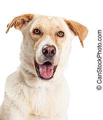 Closeup of Happy Yellow Labrador Dog Crossbreed - A cute,...