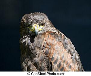Closeup of harrier hawk - Closeup detail of harrier hawk ...