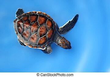hawksbill sea turtle on blue background - closeup of ...