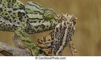 Closeup of head of chameleons