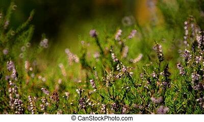 Closeup of heather shrub fluttering on breeze