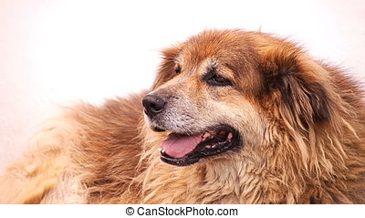 Closeup of Heavy Breathing Brown Stray Dog - Closeup of...