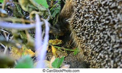 Closeup of hedgehog eating a dead bird in the wild