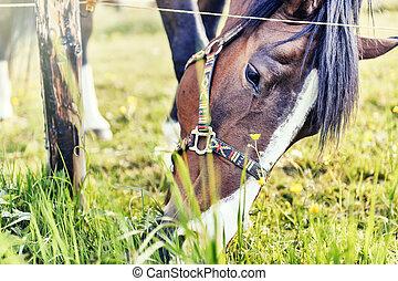 Closeup of horse eating grass