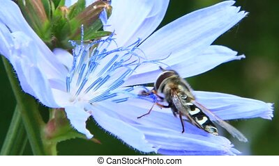 Closeup of Hoverfly on purple Cichorium blooming flower....