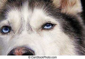 closeup of husky dog blue eyes