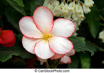 Hybrid Begonia tuberhybrida flower in white with red margin...