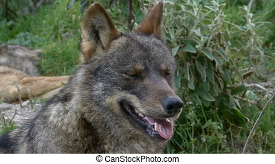 closeup of Iberian wolf head - closeup of Iberian wolf head...