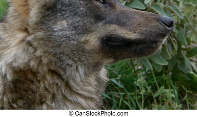 closeup of Iberian wolf head with his eyes and fangs