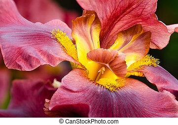 Closeup of iris