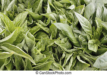 Closeup of Italian Basil