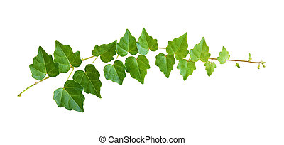 Closeup of ivy twig with small green leaves