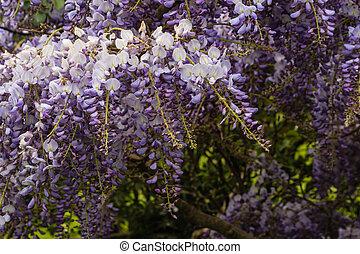 Japanese wisteria in bloom