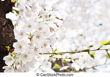 closeup of Korean cherry blossoms in full bloom