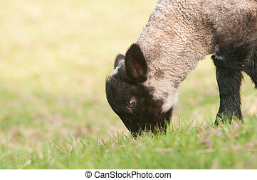 closeup of lamb
