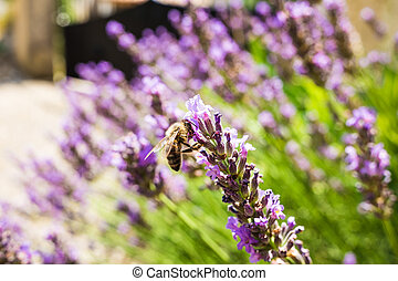 Closeup of lavender and bee