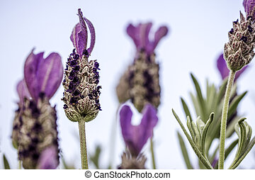 Closeup of Lavender Flower