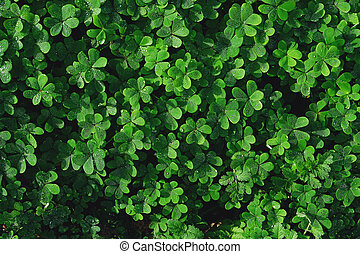 Closeup of Leaf clovers with water drops.