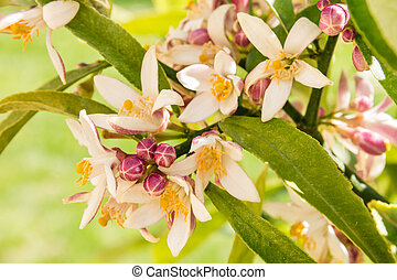 closeup of lemon tree with flowers and buds