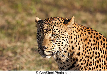 Closeup of leopard head in the sunlight brown spots