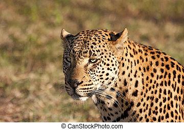 Closeup of leopard head in the sunlight brown spots