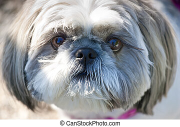 Closeup of the face of the Lhasa Apso dog breed, with a purple collar blurred but visible.