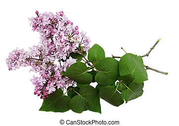 Closeup of lilac branch