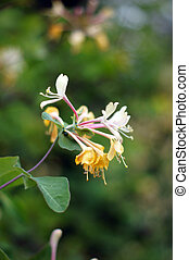 Closeup of Lonicera caprifolium flowers in the spring garden