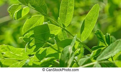 Closeup of lush green leaves backlit on wind - Close-up of...