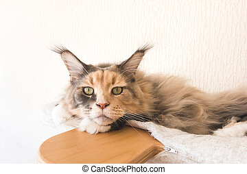 Closeup of Maine Coon Cat on top of Cat Tree