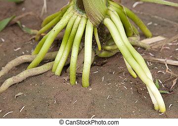 maize root - closeup of maize root