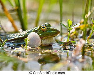 Closeup of male edible frog croaking for a partner