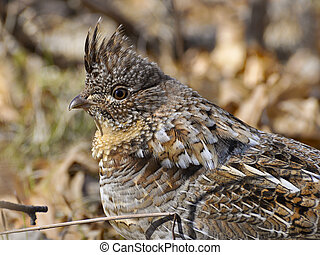 Ruffed Grouse - Closeup of male Ruffed Grouse
