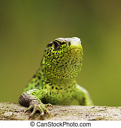 closeup of male sand lizard standing on wood ( Lacerta...