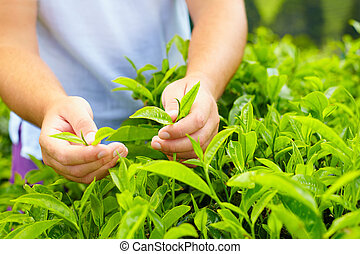 closeup of man's hands harvesting tea leaves