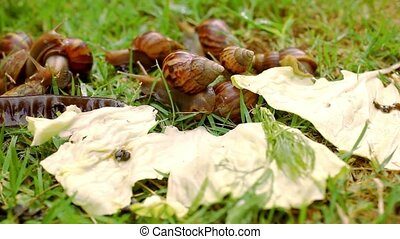 Closeup of many crawling, loving and eating Snails in the grass. Macro video shift motion