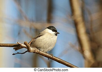 Marsh Tit - Closeup of Marsh Tit (Parus palustris) on a twig...