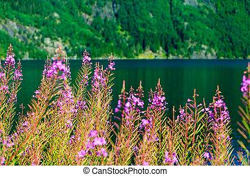 Closeup of meadow violet flowers. Wildflower on lake