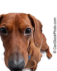 Closeup of Miniature dachshund on white