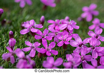 Closeup of moss campion in the Austrian Alps