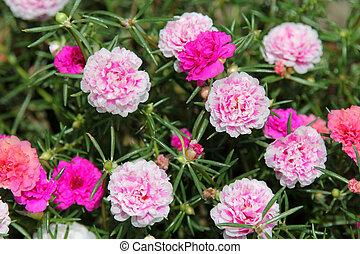 Moss-rose Purslane - Closeup of Moss-rose Purslane...