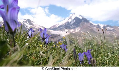 closeup of mountain flowers sway in the wind on a background of mountain peaks