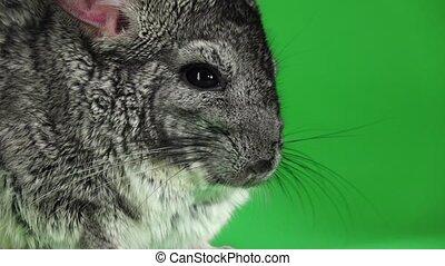 Closeup of muzzle of chinchilla on green screen. Slow motion...