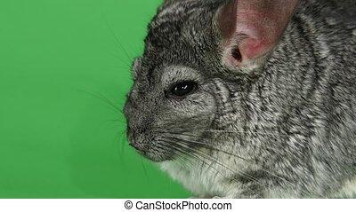 Closeup of muzzle of gray chinchilla on green screen...
